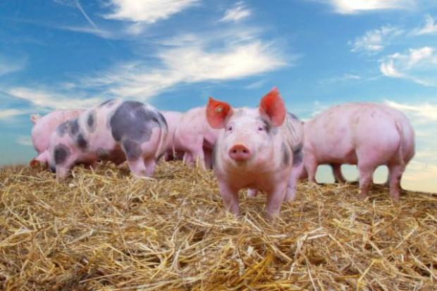 Świnie tanieją w całej Europie