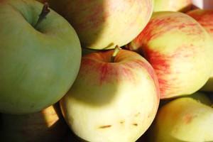 Jabłka przemysłowe w cenie 10 gr za kilogram