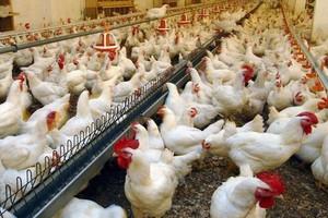 Produkcja drobiu w UE wzrośnie