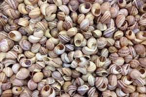 Polska firma chce odzyskiwać wapń ze skorup ślimaków