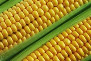 Zbiory kukurydzy dobiegają końca, wzrosła cena pszenicy na eksport