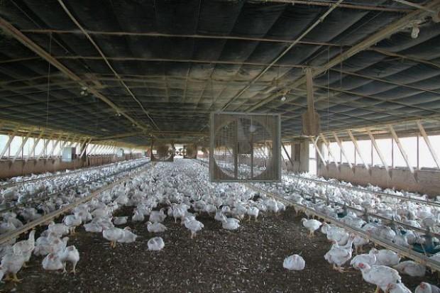 Rośnie liczba ferm zakażonych ptasią grypą w Holandii