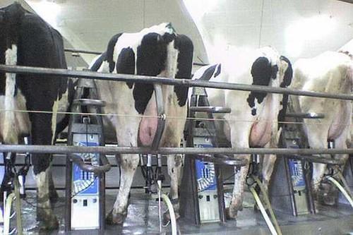 W październiku nadal spadały ceny mleka w Polsce