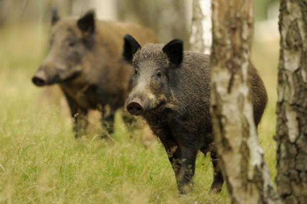 Odszkodowania za szkody spowodowane przez dziki wyniosą 1,84 mln