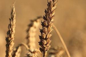 FAO: Światowe zapasy zbóż na poziomie najwyższym od 15 lat