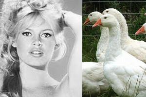 Brigitte Bardot apeluje do premierów Polski i Węgier o zakaz oskubywania żywych gęsi i kaczek