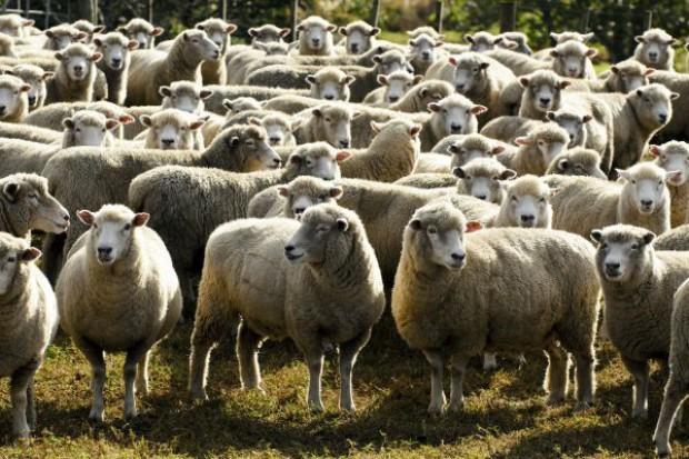 Sektor mięsa owczego zaczyna rosnąć
