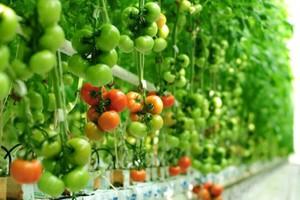 Citronex: Pomidory ze szklarni w Bogatyni trafią do sklepów w styczniu 2015 r.