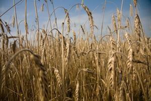 Światowe zbiory zbóż znów będą rekordowe