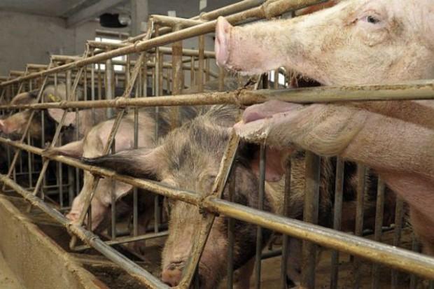 W Polsce wykryto trzecie ognisko ASF u świń