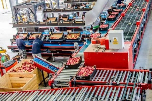 Grupy producentów jabłek tworzą konsorcja
