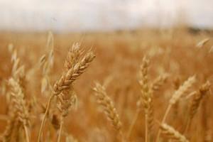 Rynek pszenicy: Wzrasta popyt, zmniejsza się areał upraw