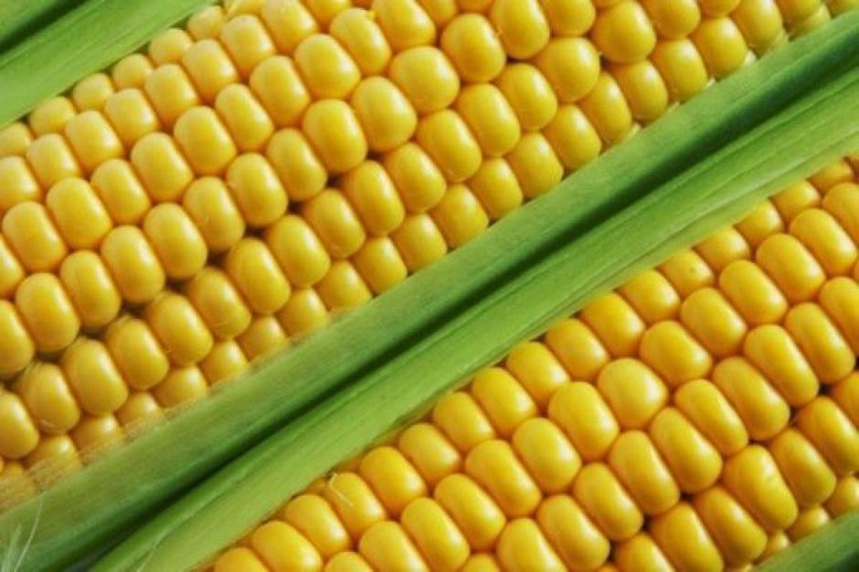 Eksport kukurydzy nadal niewielki