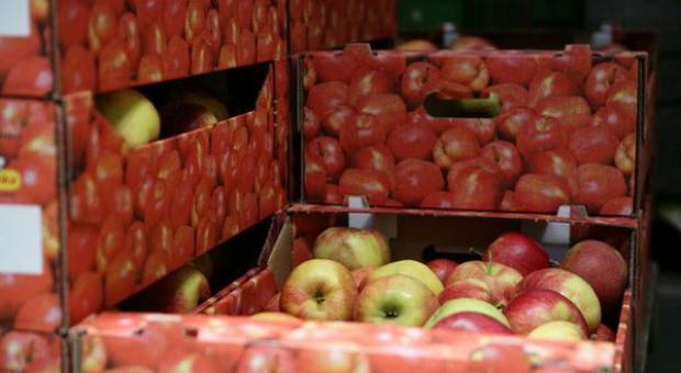 Wartość unijnego eksportu jabłek spada