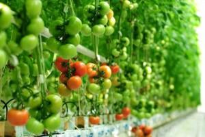 Polacy chcą budować szklarnie pomidorów w Rosji