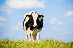 Wzrost pogłowia krów mamek w UE