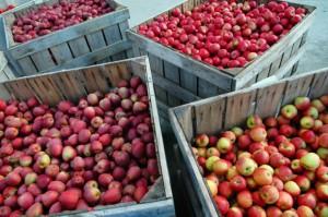 """Zapasy jabłek w Polsce """"tylko"""" o 6,5 proc. wyższe niż rok wcześniej"""