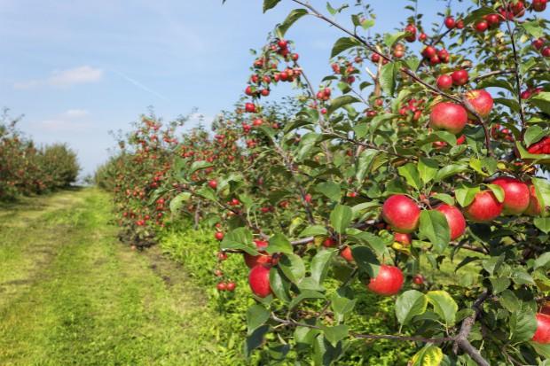 Sadownicy chcą sprzedawać jabłka z unijnym certyfikatem