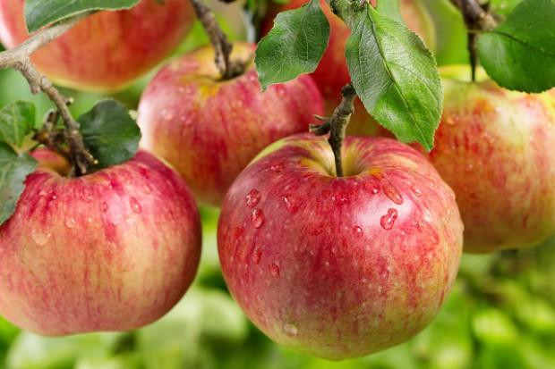 Chińczycy skontrolują polskie jabłka. Eksport ruszy w 2016?
