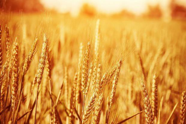 W sezonie 2015/16 na świecie rolnicy zbiorą nieco mniej pszenicy