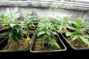 Nie będzie kar za posiadanie 10 gramów marihuany?