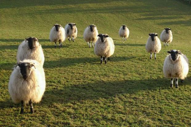 Spadek importu mięsa owczego i koziego