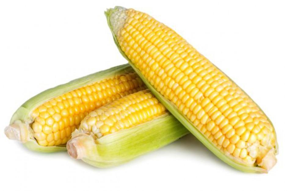 Na świecie zebrane będzie mniej kukurydzy
