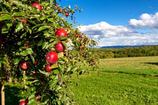 Rosjanie walczą z polskimi jabłkami