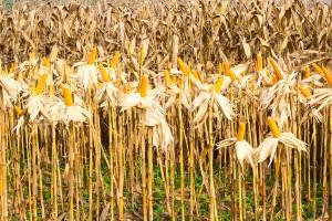Więcej kukurydzy w Chinach, mniej w Stanach Zjednoczonych