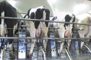 Spadek wolumenu skupu mleka w UE