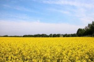 Stan zasiewów rzepaku w Polsce gorszy od ubiegłorocznego