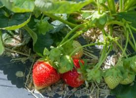 Wiosenna ocena stanu upraw truskawek