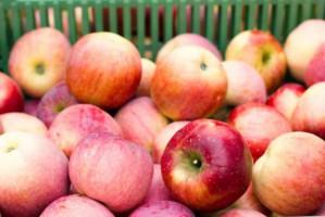 Chińscy inspektorzy fitosanitarni skontrolują polskie jabłka podczas zbiorów