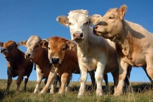 Wzrost produkcji bydła w UE