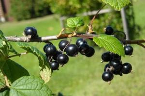Producenci czarnej porzeczki obniżają prognozy tegorocznych zbiorów