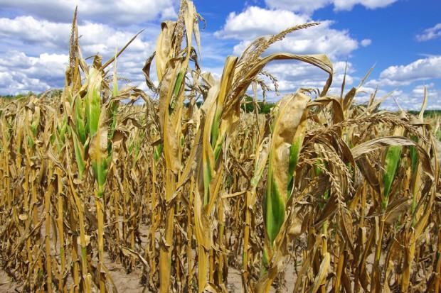 Rolnicy liczą straty spowodowane suszą