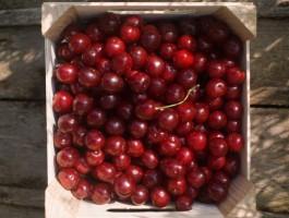Ceny skupu wiśni i malin wzrosły w porównaniu z 2014 r.