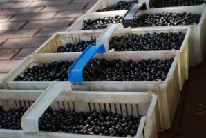 Producenci czarnej porzeczki apelują do ministra o pomoc finansową