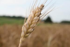 Świetne wyniki eksporterów zbóż