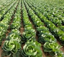 Ceny warzyw gruntowych podobne do ubiegłorocznych
