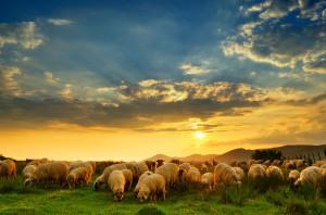 5000 owiec padło w niewyjaśnionych okolicznościach