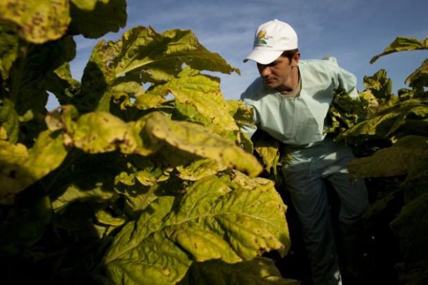 Plantatorzy tytoniu zaniepokojeni projektem ustawy