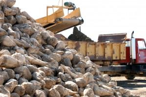 Produkcja cukru nie przekroczy 1,6 mln ton
