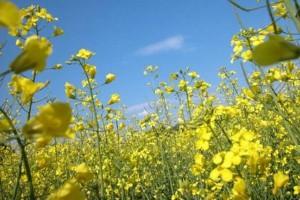 Pogoda opóźnia zbiory zbóż i rzepaku