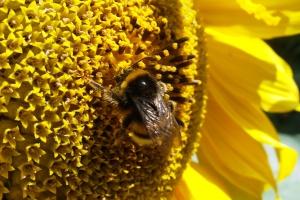 Produkcja żywności drastycznie spadnie, jeśli wyginą pszczoły