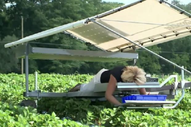 Amerykanie zbierają truskawki na leżąco
