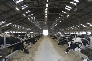 Powstaje największa farma krów mlecznych na świecie