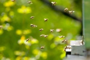 Wyginięcie pszczół oznaczałoby drastyczny spadek produkcji żywności