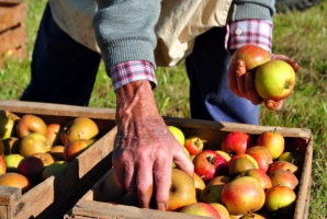 Zbiory jabłek i gruszek w UE będą w tym roku mniejsze od ubiegłorocznych