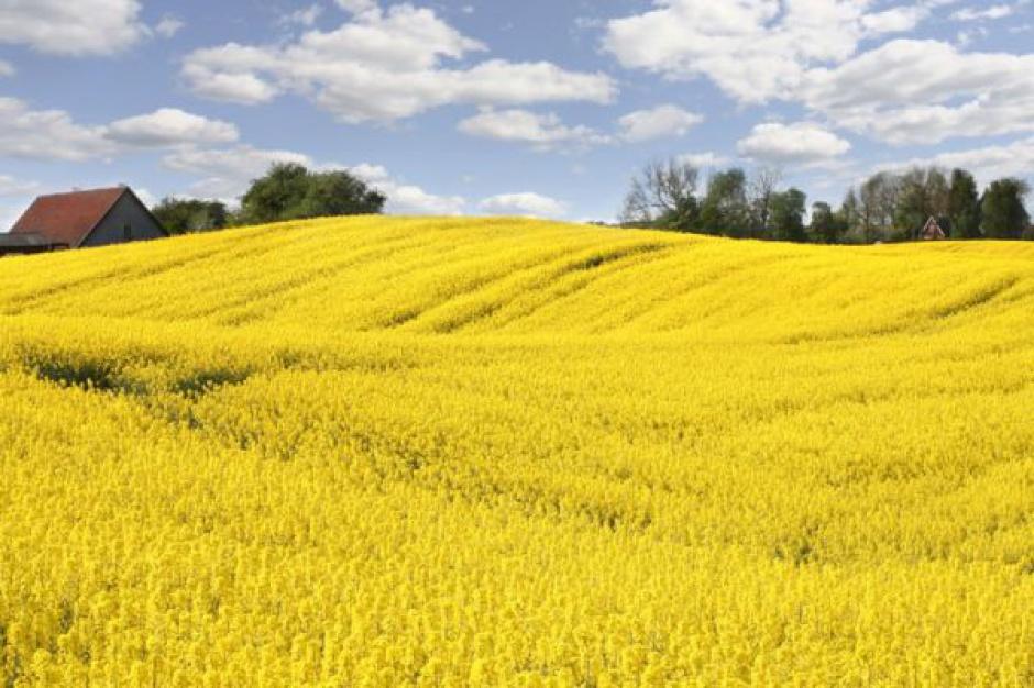 Produkcja nasion oleistych niższa od oczekiwań